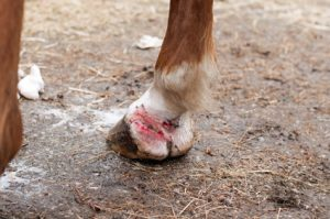 Barn Flies and How They Cause Summer Sores in Equine